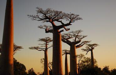 Allée des Baobabs - Morondava