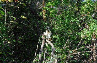 Lémurien Parc National Bemaraha