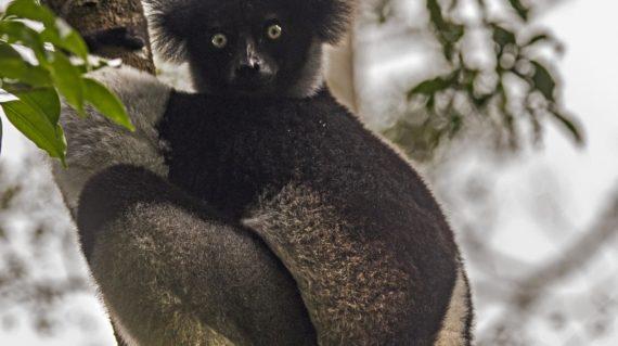 Lémurien - Forêt Primaire