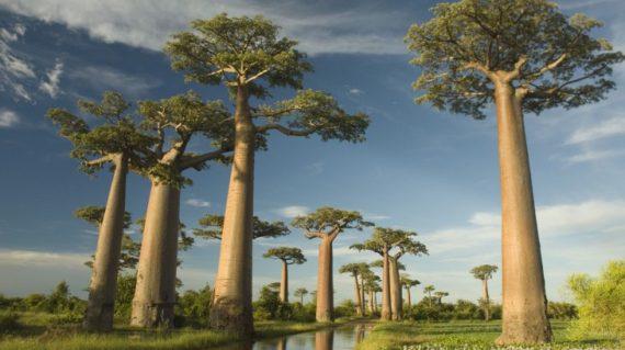 Madagascar Baobab Avenue-trip-Madagascar-travel-Madagascar Baobab Avenue
