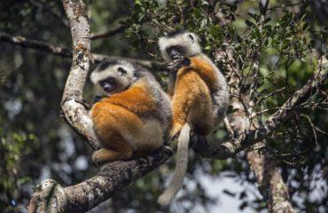 Lémuriens de Madagascar