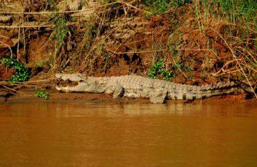 Lémuriens le long du fleuve Tsiribihina