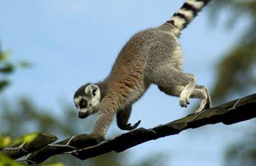 Madagascar : Aux pays des lémuriens balades en forêts à la rencontre avec l'incroyable faune malgache, de différentes espèces de lémuriens